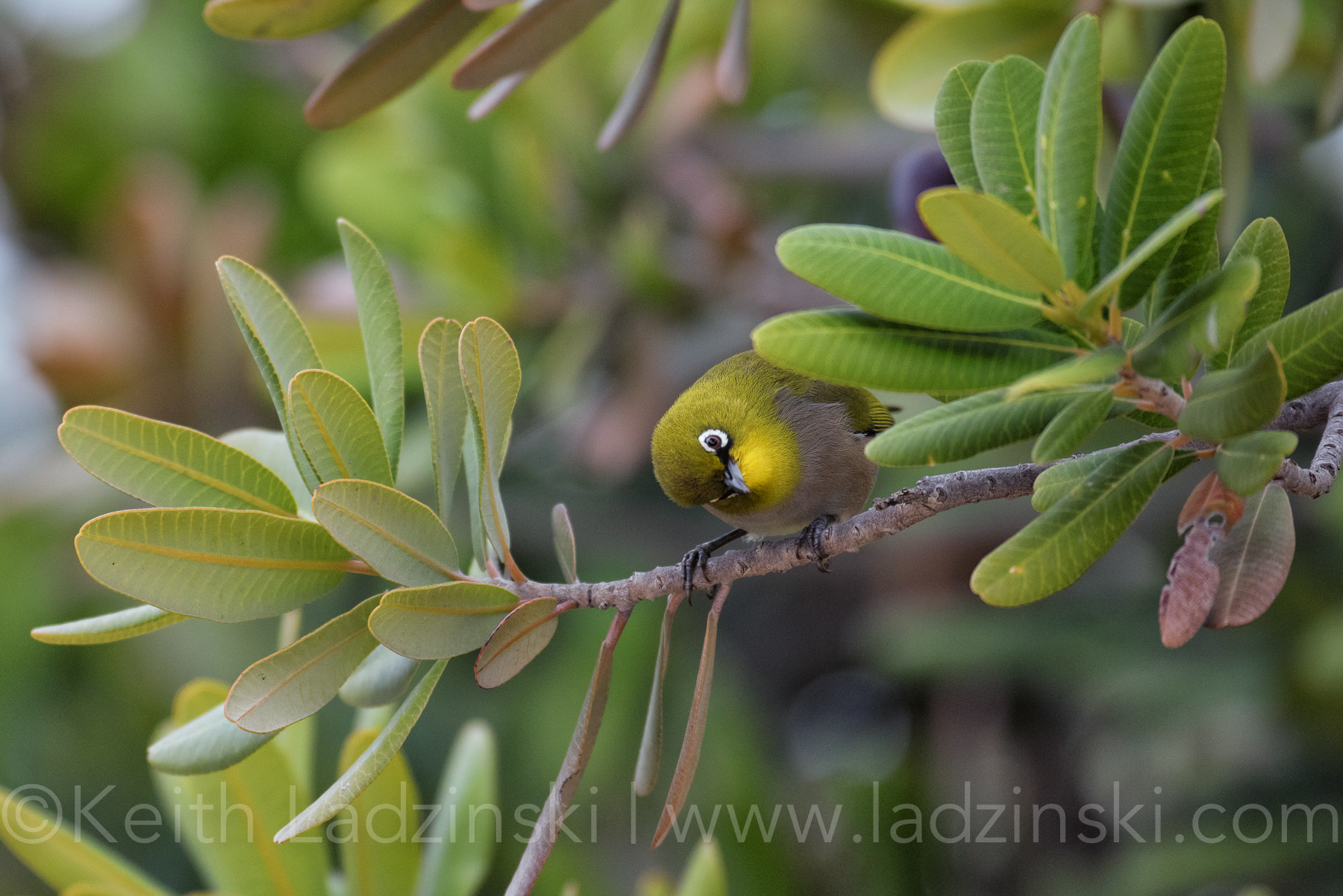 cape-white-eye11 (2)